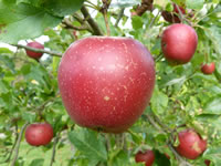 Äpfelsäure